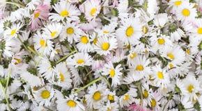 Fiore della margherita Immagine Stock Libera da Diritti