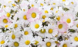 Fiore della margherita Fotografie Stock Libere da Diritti