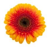 Fiore della margherita arancione con i waterdrops fotografia stock libera da diritti
