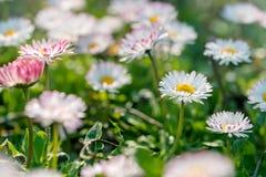 Fiore della margherita - bella natura alta vicina in primavera Fotografia Stock