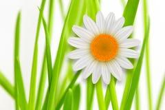 Fiore della margherita bianca del whith dell'erba del fondo del fiore illustrazione vettoriale