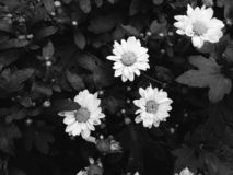 Fiore della margherita in bianco e nero fotografia stock