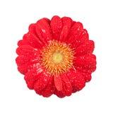 Fiore della margherita con le gocce di acqua fotografia stock libera da diritti