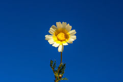 Fiore della margherita contro un cielo blu profondo Immagine Stock Libera da Diritti