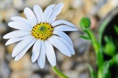 Fiore della margherita di Osteospermum immagini stock