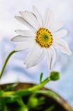 Fiore della margherita di Osteospermum fotografia stock libera da diritti