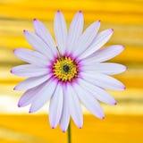 Fiore della margherita di Osteospermum fotografie stock libere da diritti