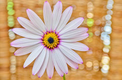 Fiore della margherita di Osteospermum immagine stock