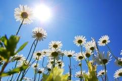 Fiore della margherita in estate con cielo blu Immagini Stock Libere da Diritti