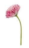 Fiore della margherita isolato su un bianco Fotografie Stock