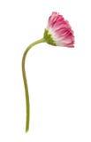 Fiore della margherita isolato su un bianco Fotografia Stock Libera da Diritti