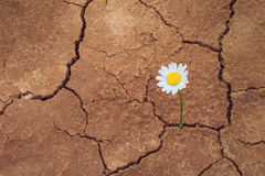Fiore della margherita nel deserto Fotografie Stock Libere da Diritti