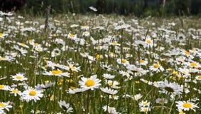 Fiore della margherita in primavera Fotografia Stock Libera da Diritti