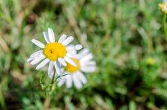 Fiore della margherita sul prato verde immagine stock libera da diritti