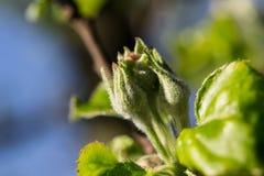 Fiore della mela del germoglio Fotografia Stock Libera da Diritti