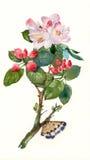 Fiore della mela dell'acquerello Fotografia Stock Libera da Diritti