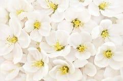 Fiore della mela della primavera, fioritura della ciliegia di primavera, fiori bianchi immagini stock libere da diritti