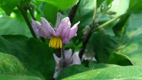Fiore della melanzana fotografia stock libera da diritti