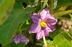 Fiore della melanzana Fotografia Stock