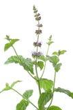 Fiore della menta Fotografia Stock