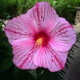 Fiore della menta piperita Fotografie Stock Libere da Diritti