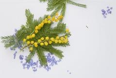 Fiore della mimosa di Giornata internazionale della donna Immagine Stock