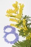 Fiore della mimosa di Giornata internazionale della donna Fotografie Stock