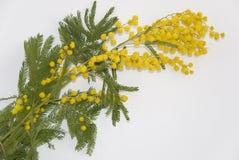 Fiore della mimosa di Giornata internazionale della donna Fotografie Stock Libere da Diritti