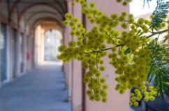 Fiore della mimosa sul fondo dell'arco del bokeh Immagini Stock