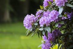 Fiore della molla del rododendro Fotografia Stock