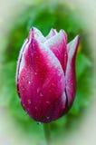 Fiore della molla del tulipano, la primaverina Immagini Stock
