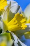 Fiore della molla di Narciss Fotografia Stock