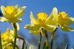 Fiore della molla di Narciss Fotografia Stock Libera da Diritti