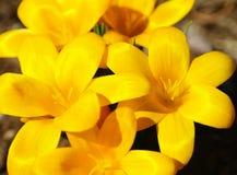 Fiore della molla di vernus del croco (croco della primavera, croco gigante) Fotografie Stock