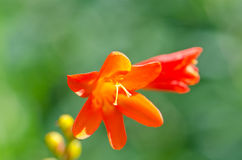 Fiore della montagna Immagine Stock