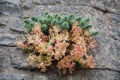 Fiore della montagna Fotografia Stock Libera da Diritti
