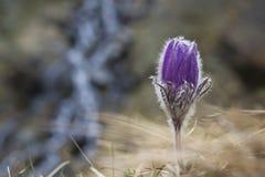 Fiore della montagna dell'anemone alpino Fotografia Stock