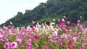 Fiore della montagna dell'universo della pentola video d archivio