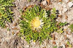 Fiore della montagna di Balcani in Bulgaria Fotografie Stock Libere da Diritti