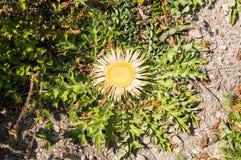 Fiore della montagna di Balcani, Bulgaria Fotografia Stock