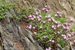 Fiore della montagna di rosa selvaggio Fotografie Stock