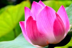 fiore della natura del loto Fotografie Stock Libere da Diritti