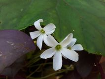 Fiore della natura ha colore bianco Immagine Stock