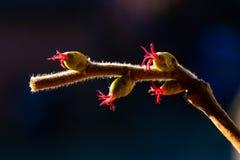 Fiore della nocciola che riflette i suoi bei colori rossi per decorare il parco fotografia stock libera da diritti