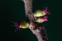 Fiore della nocciola che riflette i suoi bei colori rossi per decorare il parco fotografia stock
