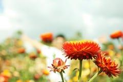 Fiore della paglia o eterno Immagine Stock