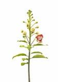 Fiore della palla di cannone Fotografie Stock