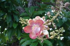 Fiore della palla di cannone dall'albero fotografia stock