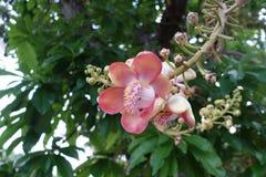 Fiore della palla di cannone dall'albero Fotografie Stock Libere da Diritti