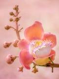 Fiore della palla di cannone elaborato nel rosa immagini stock libere da diritti